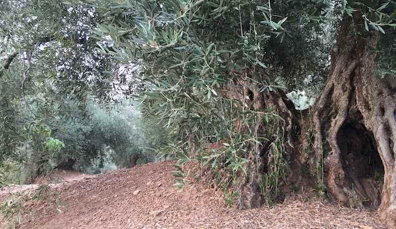 El olivo, padre retorcido
