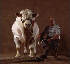 El misterio de las vacas gigantes belgas.