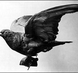 Una paloma mensajera.