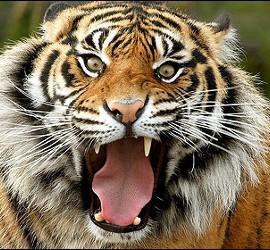 Tigre de Bengala.