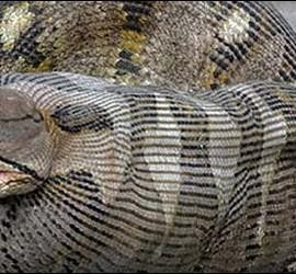 Una serpiente pitón devorando una oveja.