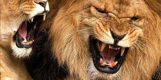 Elefante mató a cazador furtivo y los leones se comieron sus restos