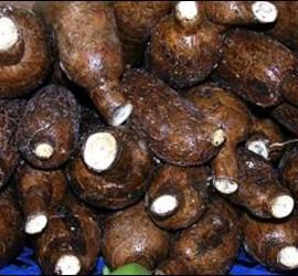 En África, la yuca ha obtenido mejores resultados en comparación con la papa, el maíz, el frijol, el plátano, el mijo y el sorgo.