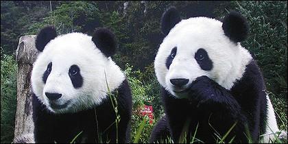 Osos panda.