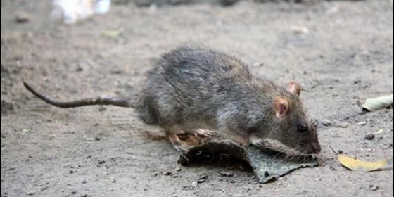 Las ratas invaden la zonas del arenal can pastilla for Ahuyentar ratas jardin