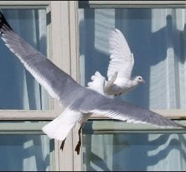 Ataque de la gaviota en pleno vuelo