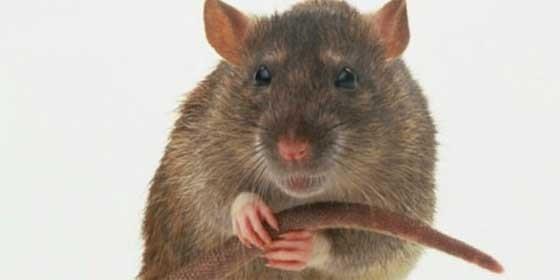 Todas las ratas de la isla brit nica subant rtica de for Ahuyentar ratas jardin