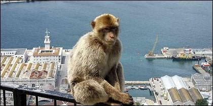 Un mono del Peñón de Gibraltar.
