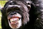 Mono, chimpance, simio.
