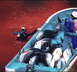 Pesca brutal del delfín en Japón.