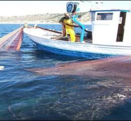Pesca del jonquillo