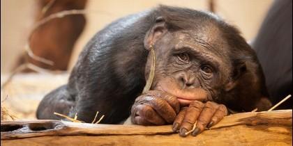 Un mono triste.