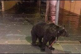 El oso atado a la farola