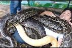 Masajes con serpientes pitón