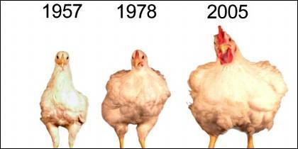 El primer pollo no pesa ni un kilo; el tercero más de 4 kilos.