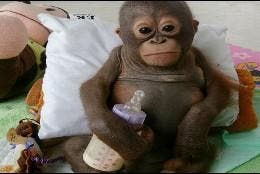 Budi, el bebé orangután ya está a salvo