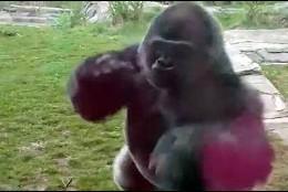 El gorila atacando