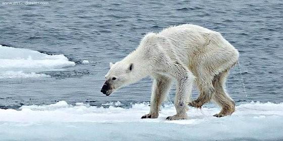 La osa polar agonizante.