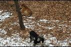 La cabra y el tigre