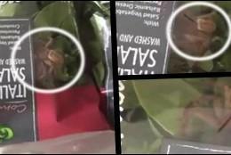 La araña cazadora en el bolsa de ensalada