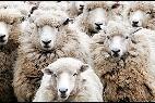 Oveja, ovejas y rebaño.