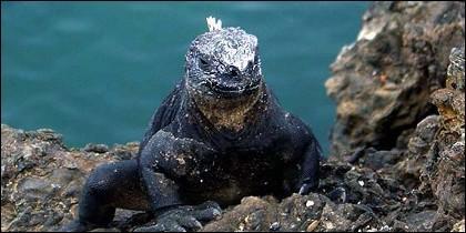 Iguana Galápagos