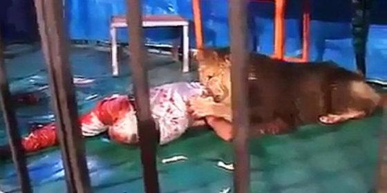 Domador atacado por un león en el circo