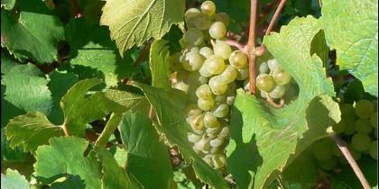Uva blanca de la variedad malvasía