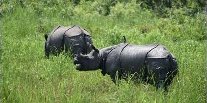 Rinocerontes en el Parque Nacional Kaziranga