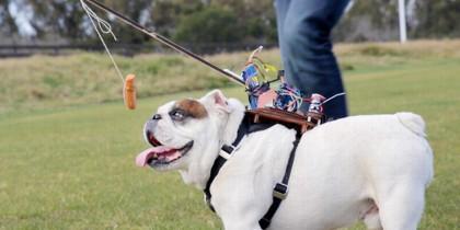 Barkley, bulldog inglés