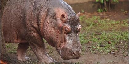 El hipopótamo 'Gustavito'
