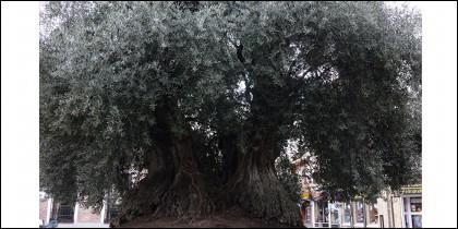 Milenario olivo de Daimiel.