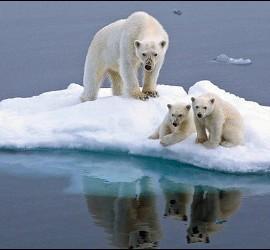 Osos polares en peligro de extinción por el deshielo que trae el cambio climático.