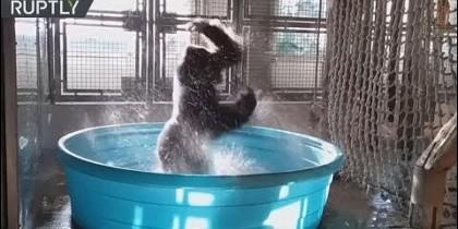 Gorila bailarín