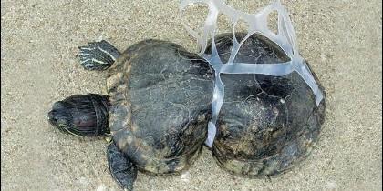 Una tortuga mutilada por el plástico.