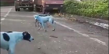 Perros callejeros azules