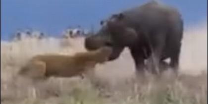 Leona e hipopótamo