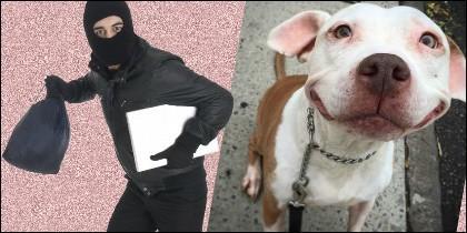 Pitbull y ladrón