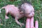 Criatura Malasia