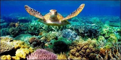 Una tortuga en la Gran Barrera de coral de Australia.