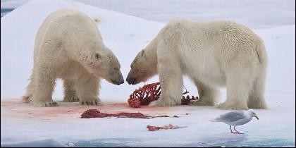 Osos polares en el Océano Artico.