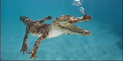 Cocodrilo, caimán, los animales y la falta de oxígeno durante el buceo.