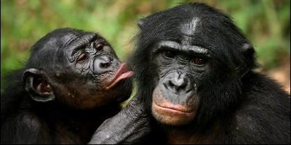 Los bonobos, los parientes más cercanos de los seres humanos.
