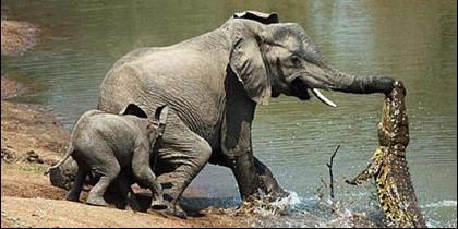 El elefante contra el cocodrilo.