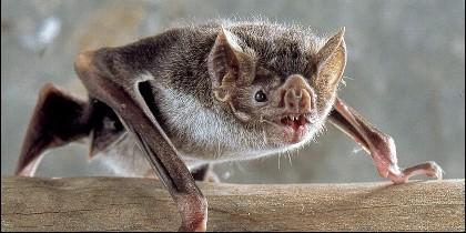 Vampiro, murciélago.