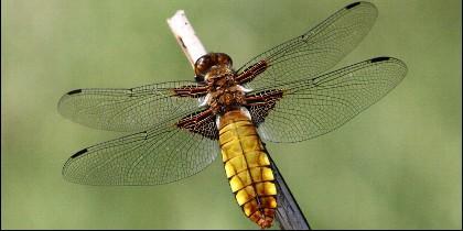 La libélula,