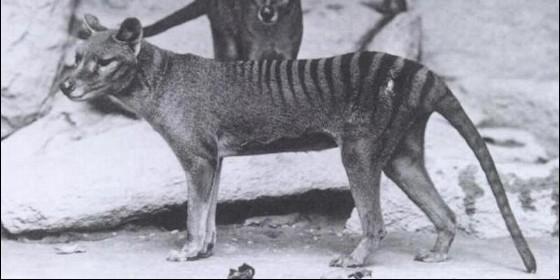 El último tigre de Tasmania murió en cautiverio en 1936.