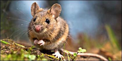Un ratón.