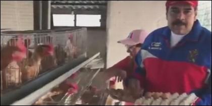 Maduro y las gallinas