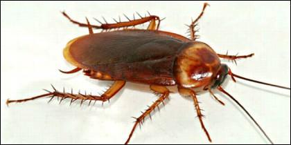 La cucaracha americana.